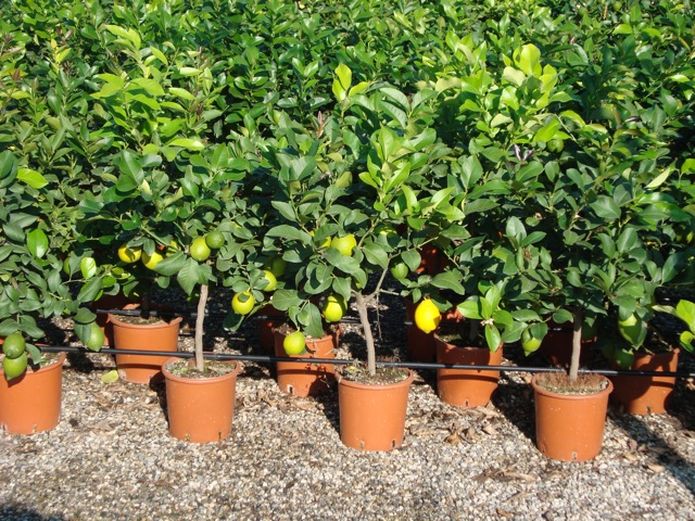 vendita piante di limoni agrumi vivai munaf