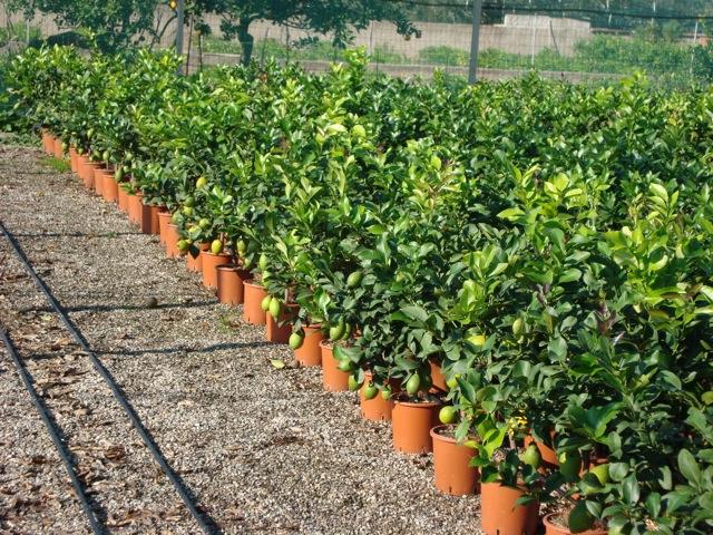 vivai vendita piante