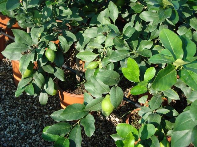 Vendita piante di limoni agrumi vivai munaf for Piante di cedro vendita