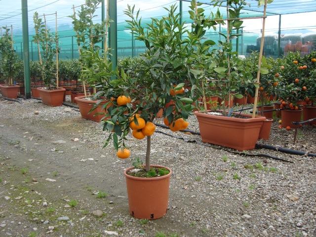vendita piante di mandarino agrumi vivai munaf