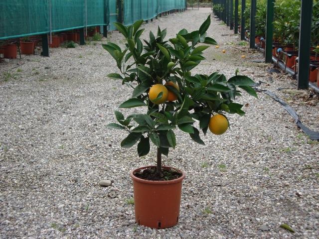 Vendita piante di arancio agrumi vivai munaf for Piante di cedro vendita