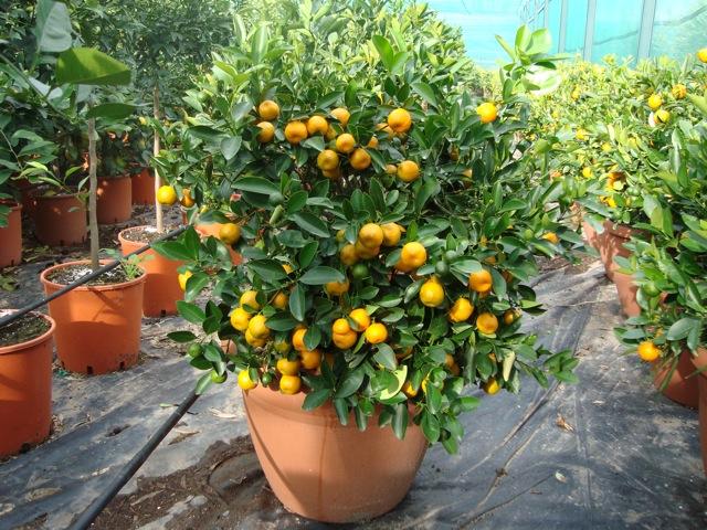 vendita piante di calamondino agrumi vivai munaf