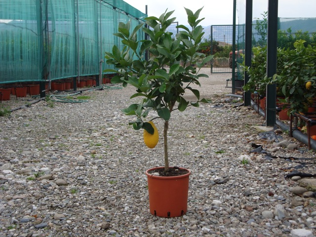 vendita piante di cedro agrumi vivai munaf