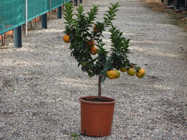 Vendita piante di chinotto agrumi vivai munaf for Piante di cedro vendita