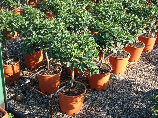 Vendita piante di kumquat agrumi vivai munaf for Piante di agrumi vendita