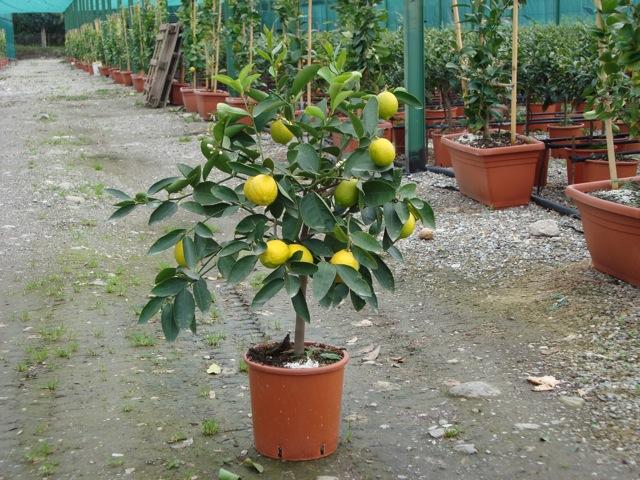 Vendita piante di lime agrumi vivai munaf for Bonsai limone vendita