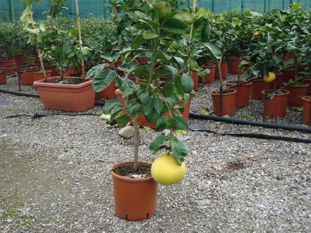 Vendita piante di pompelmo agrumi vivai munaf for Piante di cedro vendita